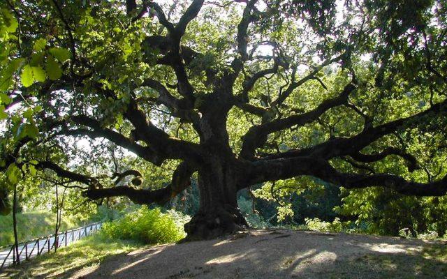 Ambiente, gli alberi di Torino, monumenti secolari