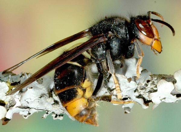 Photo of Le vespe killer arrivano in Piemonte