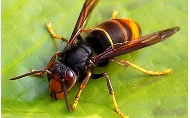 piemonte_allarme_per_la_vespa_killer_in_pericolo_il_settore_dell_apicoltura-0-0-376542
