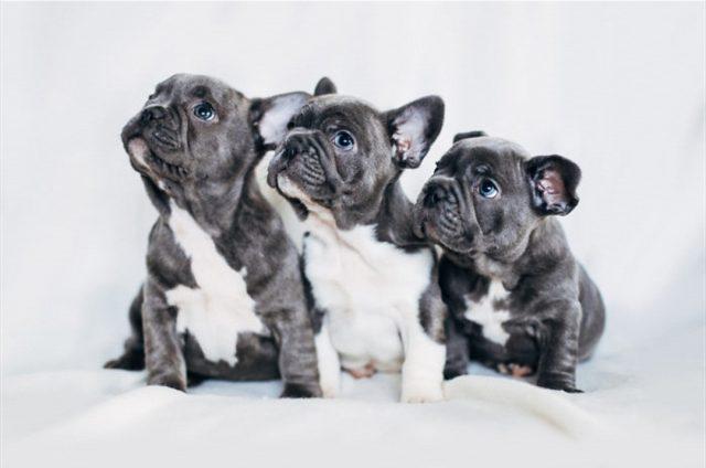 Scoperto traffico illecito di bulldog francesi a Torino: denunciati i truffatori