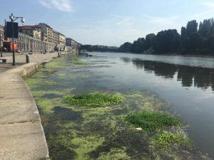 Torino, torna l'incubo alghe nel Po: macchie verdi tra ponti e passerelle sul fiume