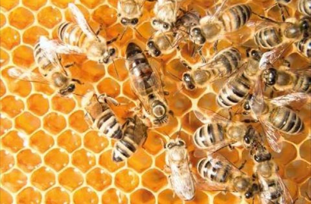 Emergenza apicoltura in Piemonte, la Regione si mobilita per gestirla