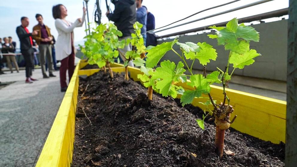 Una vigna sul tetto del Politecnico di Torino: il progetto per i produttori di vino