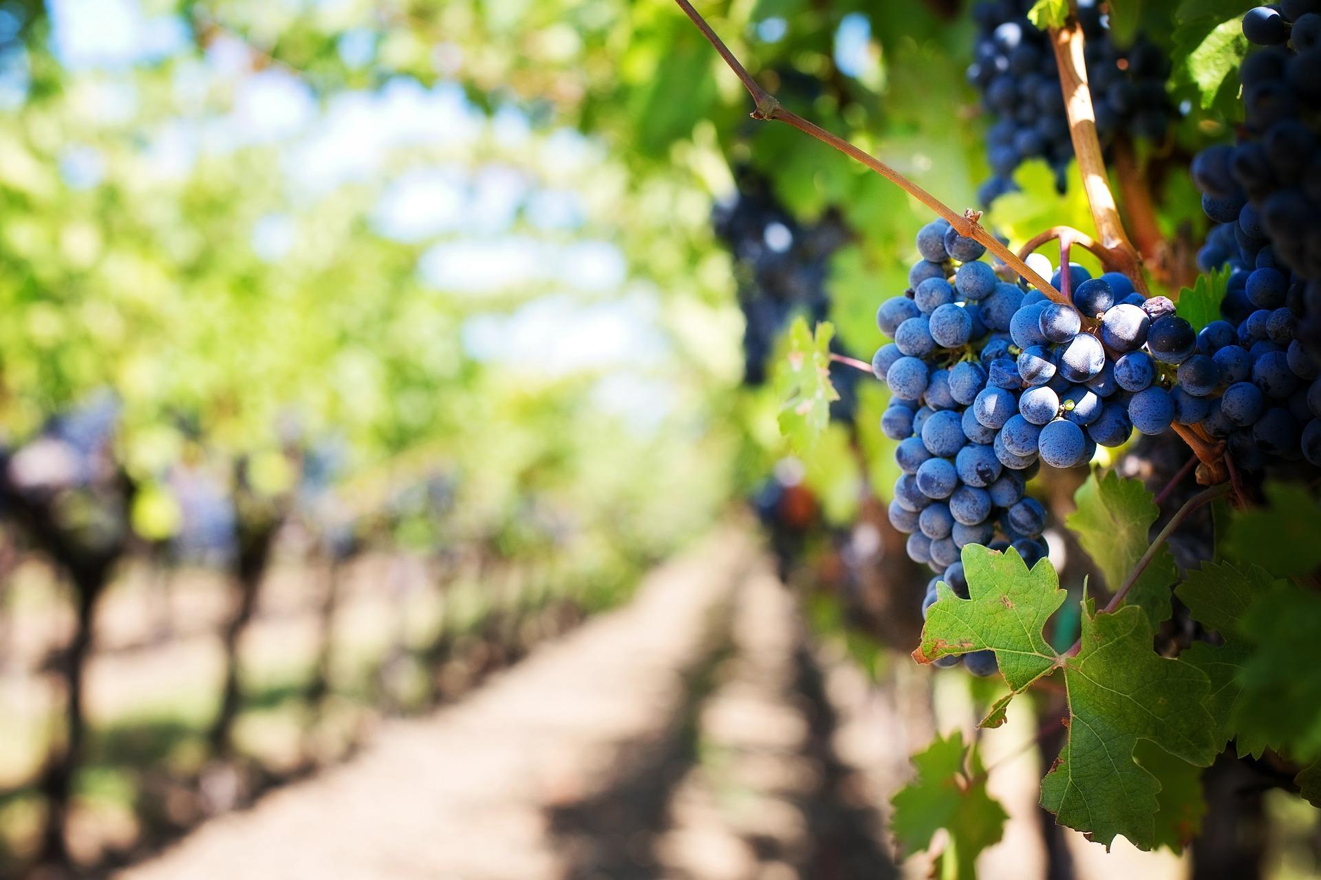 Photo of Torna Vendemmia a Torino – Grapes in Town, la rassegna che esalta l'eccellenza vitivinicola piemontese