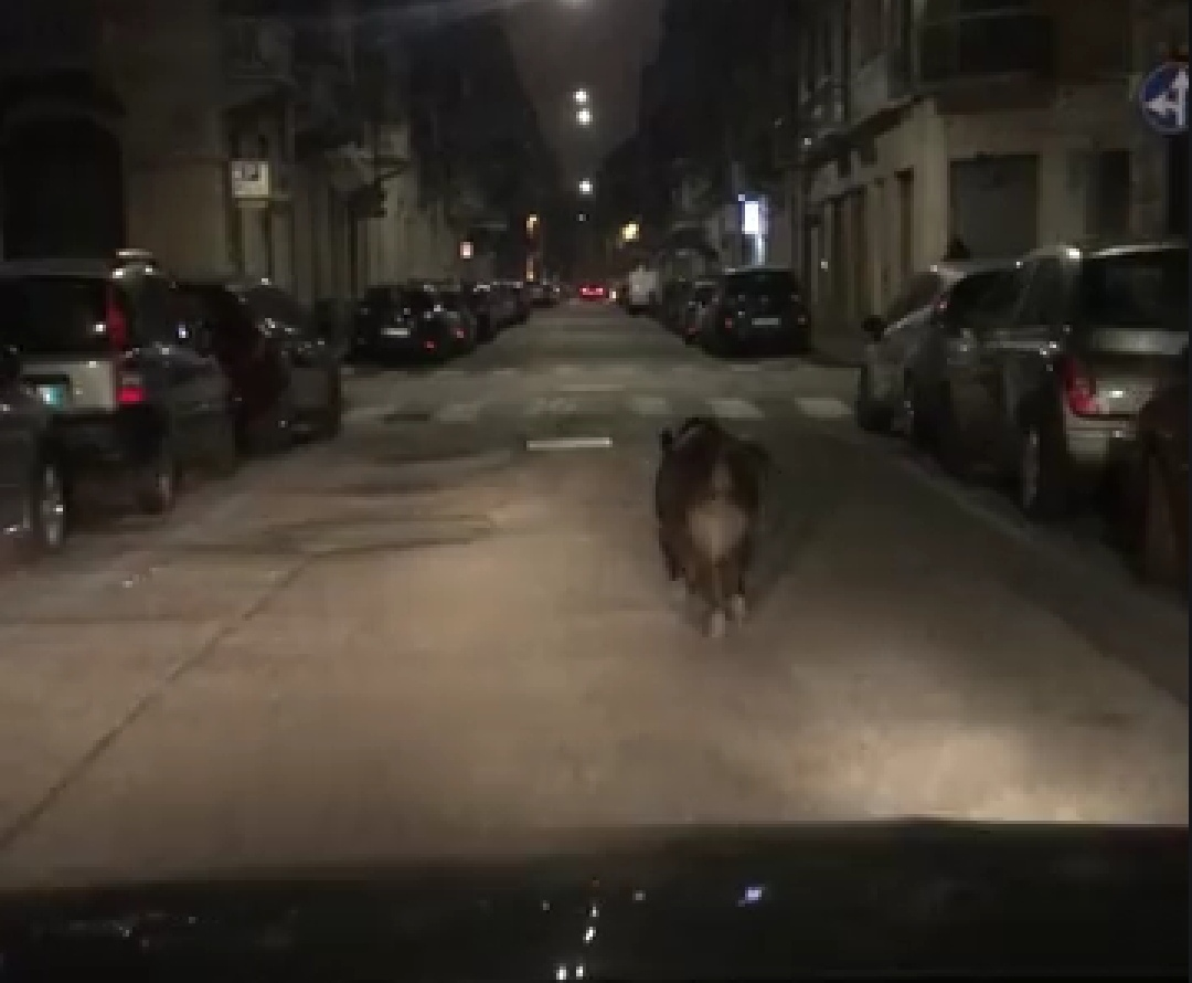 Cinghiale a spasso per Torino: l'animale si aggira a poca distanza dal centro