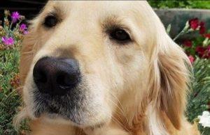 Morto il cane Cullen: il corpo del Golden Retriever scomparso trovato a Grugliasco