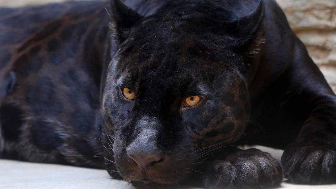 Photo of Avvistata una pantera nera in Piemonte: allarme lanciato nella provincia di Cuneo