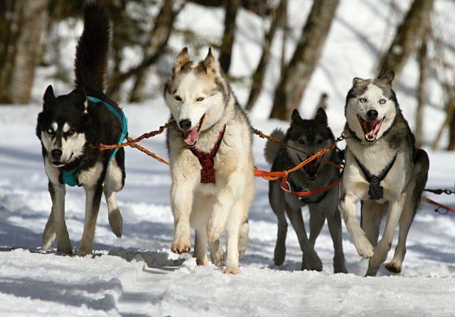 4 cani huskey sulla neve