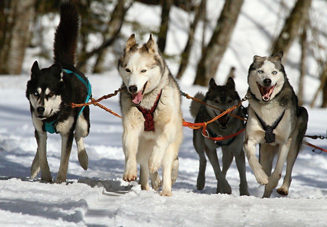 Photo of Pragelato, attesi 600 cani da slitta per il Campionato europeo di Sleddog