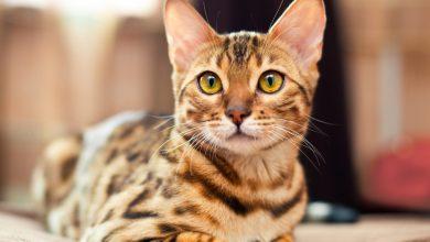 Photo of Oulx: gatto smarrito ritrovato in Francia dopo 20 giorni