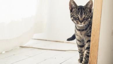 Photo of Torino gatto salvato dopo 3 mesi chiuso in casa: la padrona era in carcere