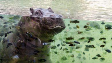 Photo of Cucciolo di ippopotamo al Bioparco Zoom