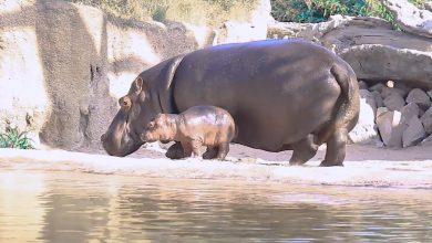 Photo of Zoom Torino nome baby hippo, via al contest