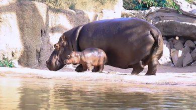 """Photo of Al Bioparco Zoom arrivano i """"Baby Hippo Days"""" per festeggiare il nuovo cucciolo"""