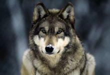 Photo of Arrivano le squadre di prevenzione per i lupi in Piemonte