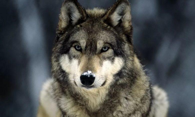 Arrivano le squadre di prevenzione per i lupi in Piemonte