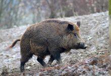 Photo of In Piemonte un cinghiale uccide un cacciatore: 74enne morto dopo aver ferito l'animale