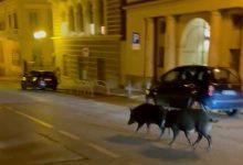 Photo of Torino, nuovo avvistamento di cinghiali in città in corso moncalieri