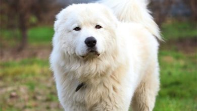Photo of Trovato morto il cane Jack, il maremmano che aveva lottato contro un branco di cinghiali